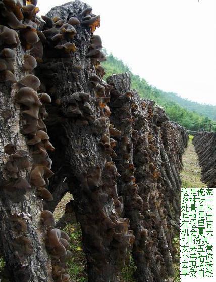 东北 野生 蘑菇 黑木耳 松子 纯五常大米 等 新年礼品