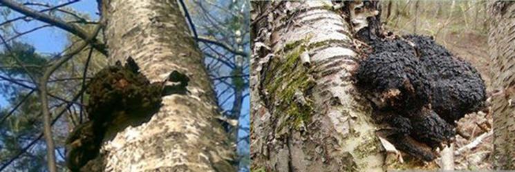桦树茸含有大量的抗癌、降血压、降血糖、降血脂、复活免疫作用的植物纤维类多糖体。可以提高免疫细胞的活力,抑制癌细胞扩散和复发,在胃肠内防止致癌物质等有害物质的吸收,并促进排泄。桦树茸的精制菌粉对糖尿病治愈率达93%。桦褐孔菌是21世纪的保健功能性食品。经日本俄罗斯欧洲专家长期的动物实验及临床实验表明,使用桦褐孔菌无任何毒副作用,对癌细胞有明显的抑制作用。防止癌细胞转移、复发,增强免疫能力,促进健康。并且用于配合恶性肿瘤患者的放疗、化疗,增强病人的耐受性,减轻毒副作用。